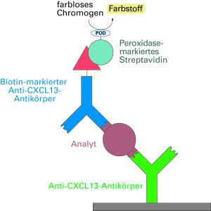 CXCL13-Moleküle werden über Antikörper und eine Farbreaktion nachgewiesen.