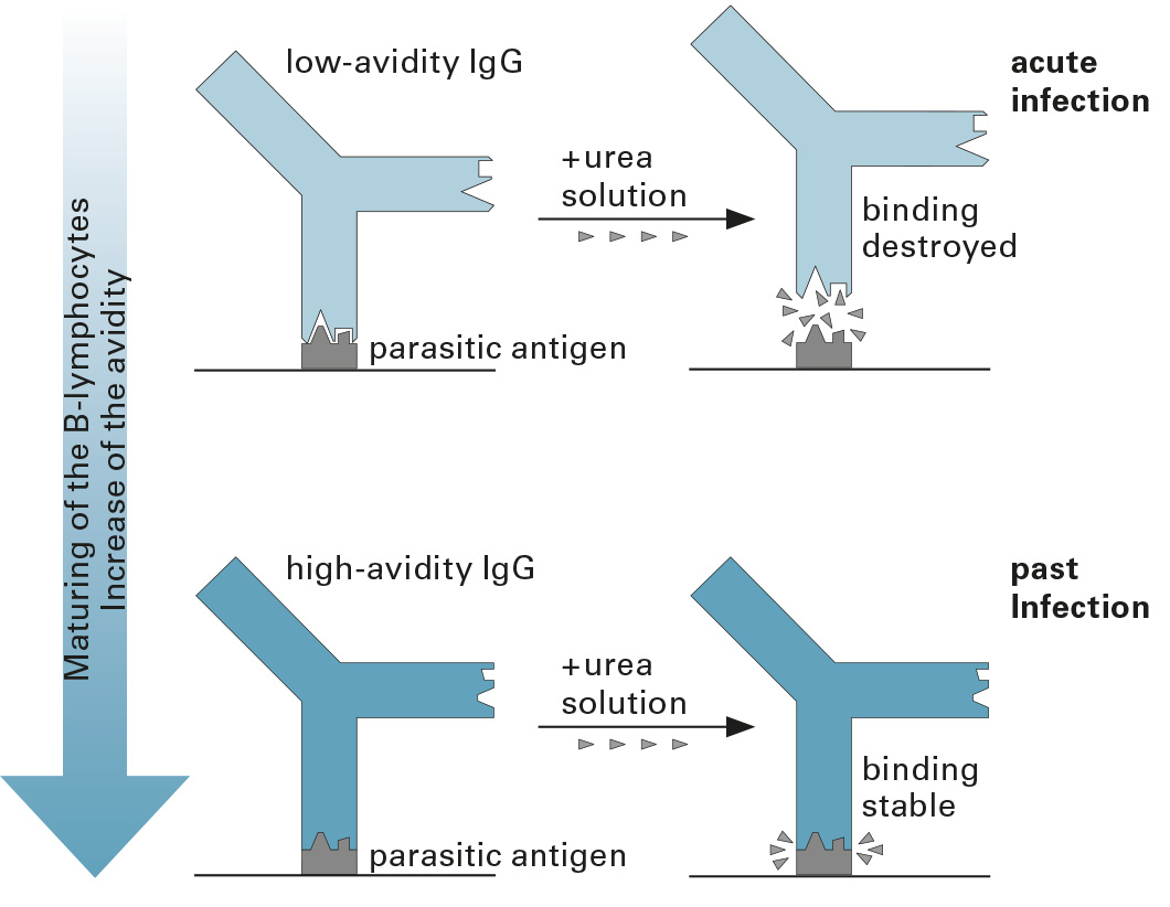 The new Anti-Toxoplasma gondii ELISA Cat (IgG) Avidity determination offers an alternative to the detection of specific IgM antibodies.